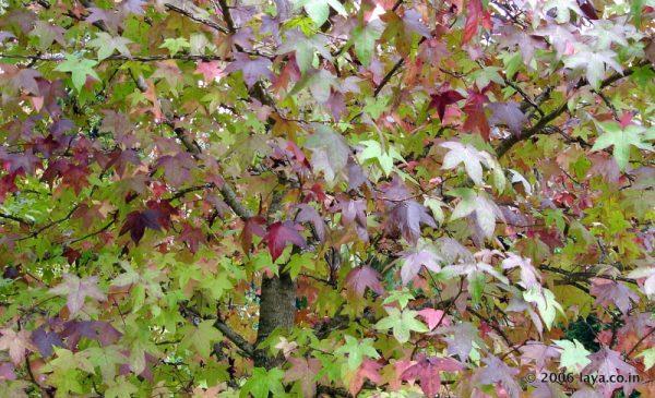 Maple Tree in Sims Park in Coonoor near Ooty