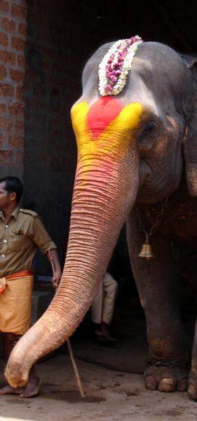 Temple elephant at Kukke Subhrimaniya